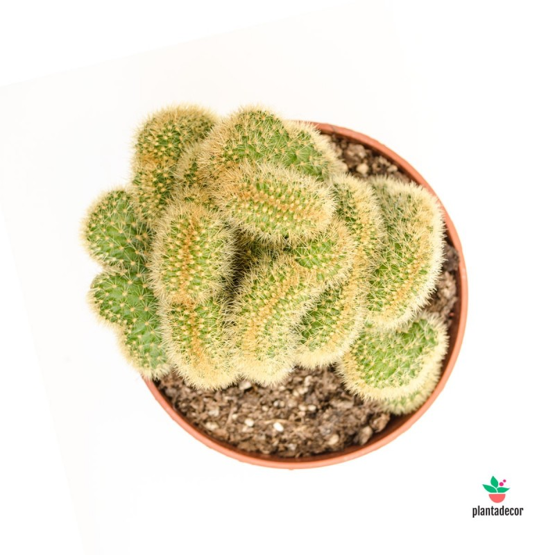 comprar cactus cristata