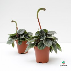 Peperomia Milano mini