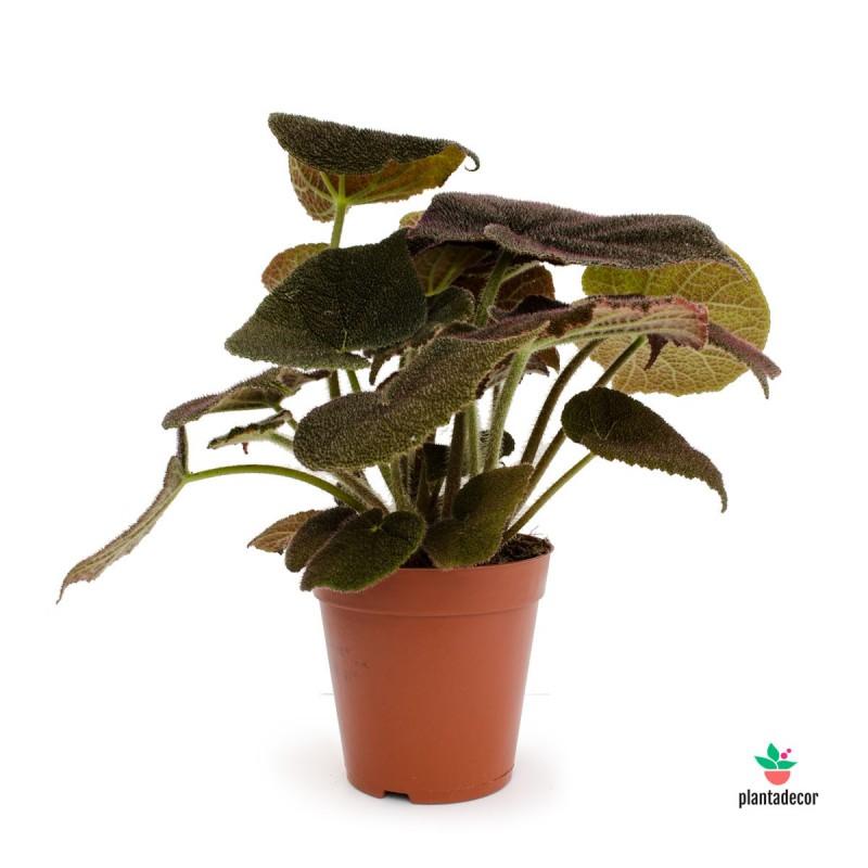 Begonia Riber comprar