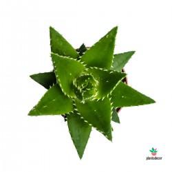 planta Aloe Perfoliata