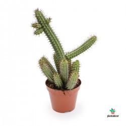 Euphorbia Badoensis