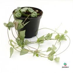 ceropegia woodii string