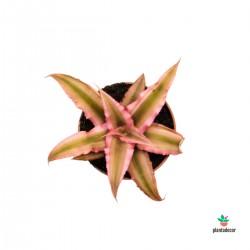 comprar Cryptanthus Bivittatus
