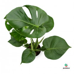 comprar Monstera