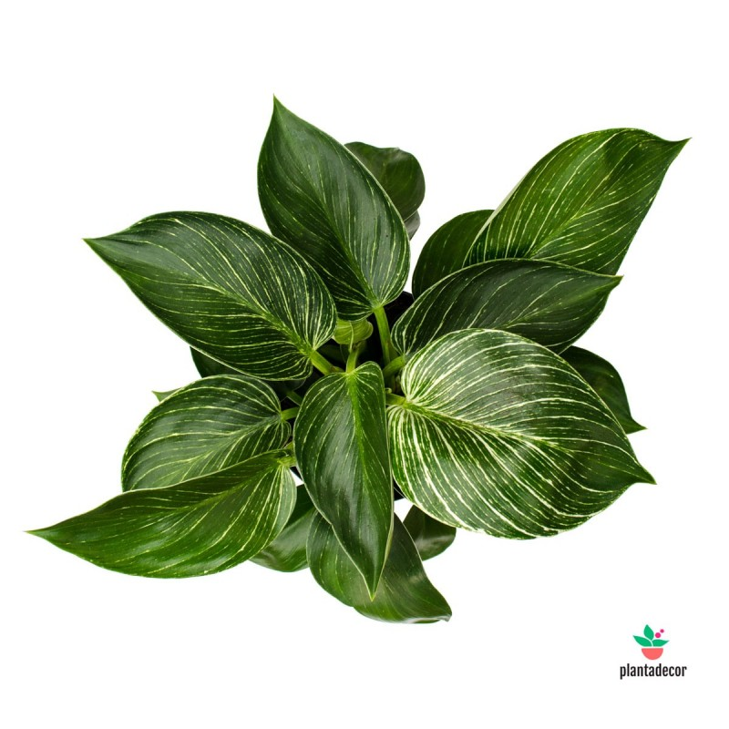 comprar Philodendron White Wave