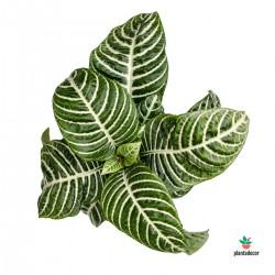 comprar Aphelandra Squarrosa Botanica