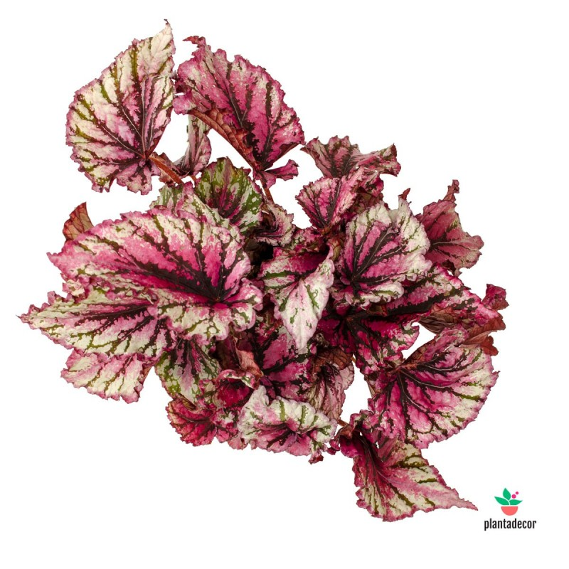 Begonia lambada comprar