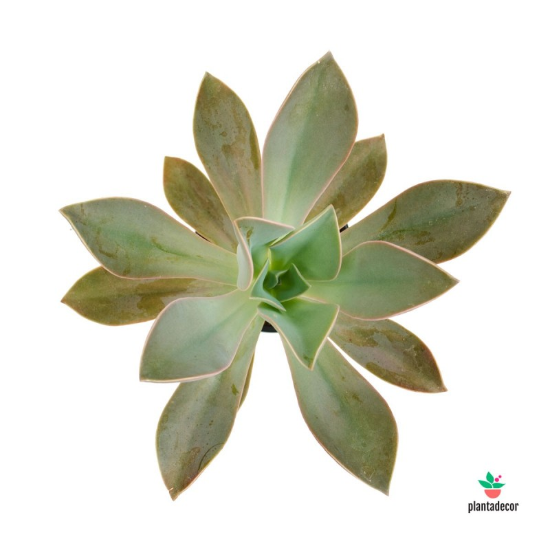 Echeveria Fred Ives plantadecor