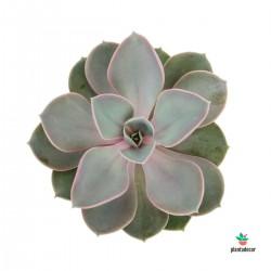 Echeveria Gibbiflora...