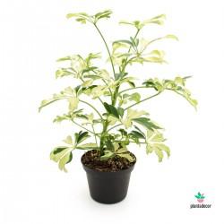 Schefflera Arboricora Janine
