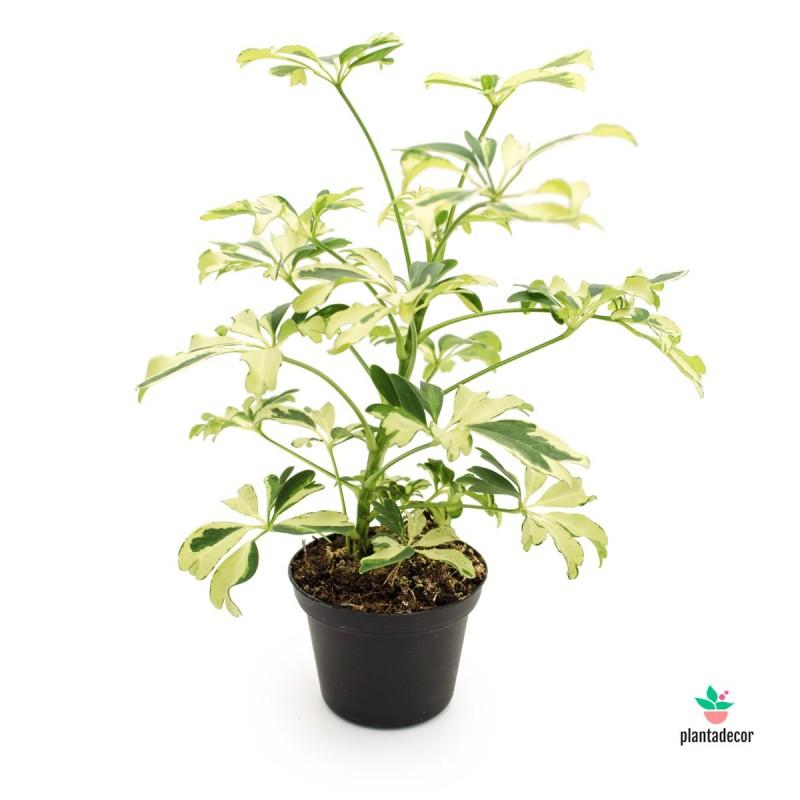 comprar Schefflera Arboricora Janine