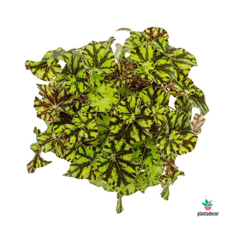 Begonia Zumba plantadecor