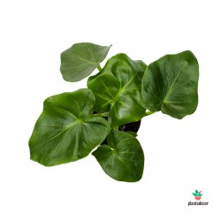 Philodendron Atom mini plantadecor