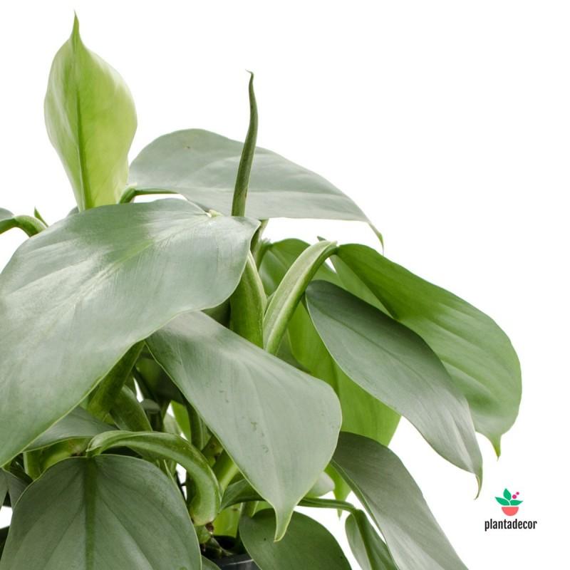 Philodendron Hastatum comprar
