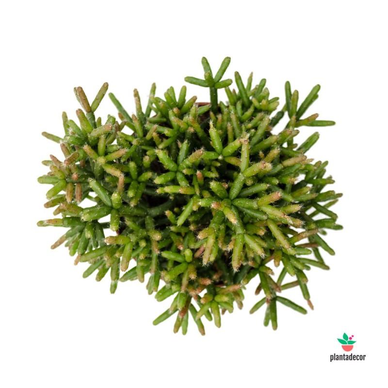 comprar Rhipsalis burchellii