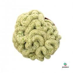 cactus Mammilliaria Elongata cristata