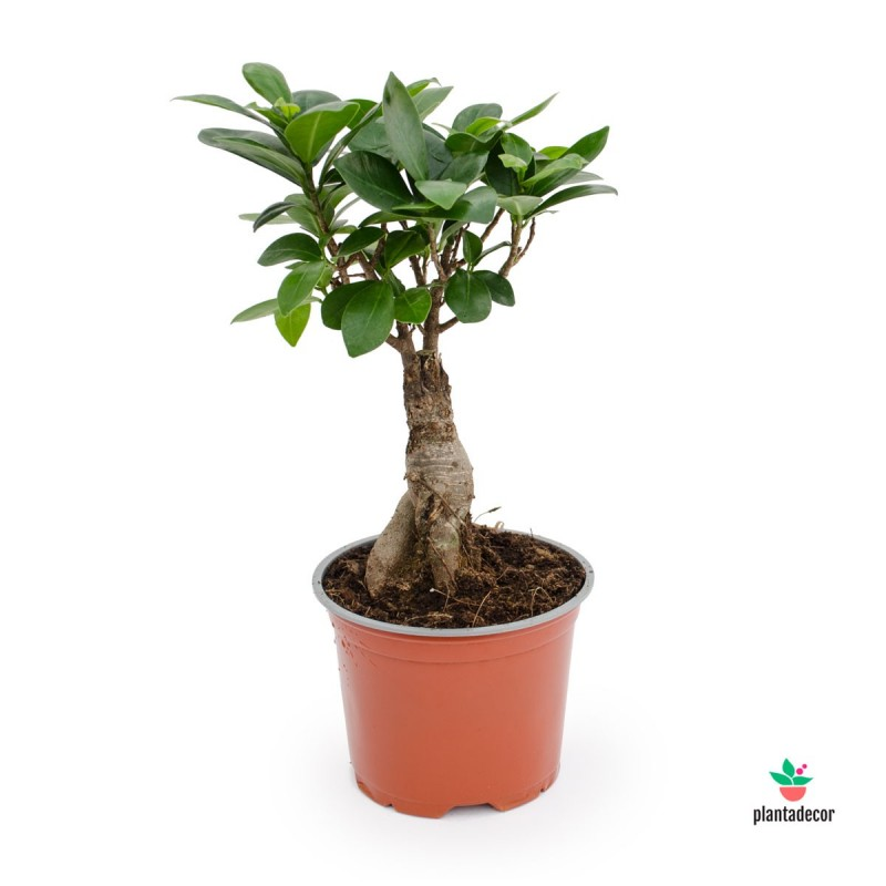 Ficus Gingseng - Ficus Microcarpa M-12 cm