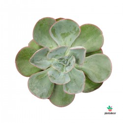 Echeveria Green Pacific
