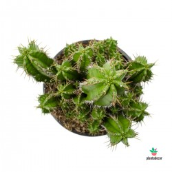 cactus Euphorbia Fruticosa