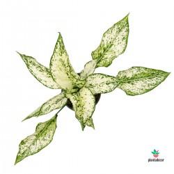 plantadecor Aglaonema White Green Speckled