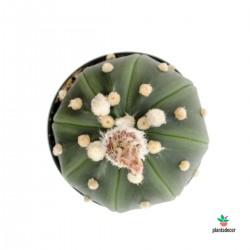 Astrophytum Asterias top
