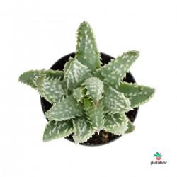 suculenta Aloe Humilis