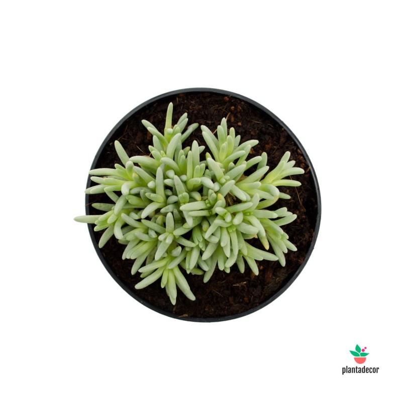 Delosperma Sphalmanthoides plantadecor