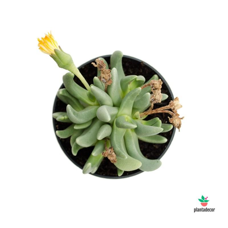 Hereroa brevifolia