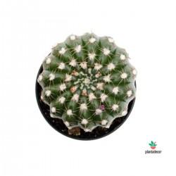 Notocactus...