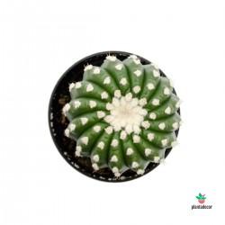 Notocactus Uebelmannianus...
