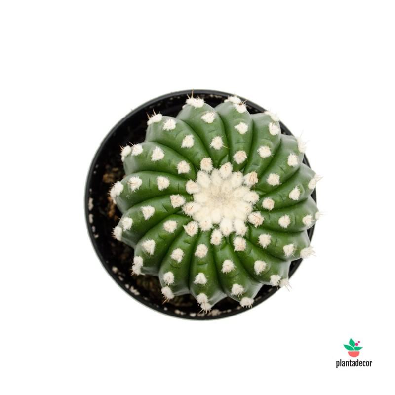 notocactus uebelmannianus inermis comprar