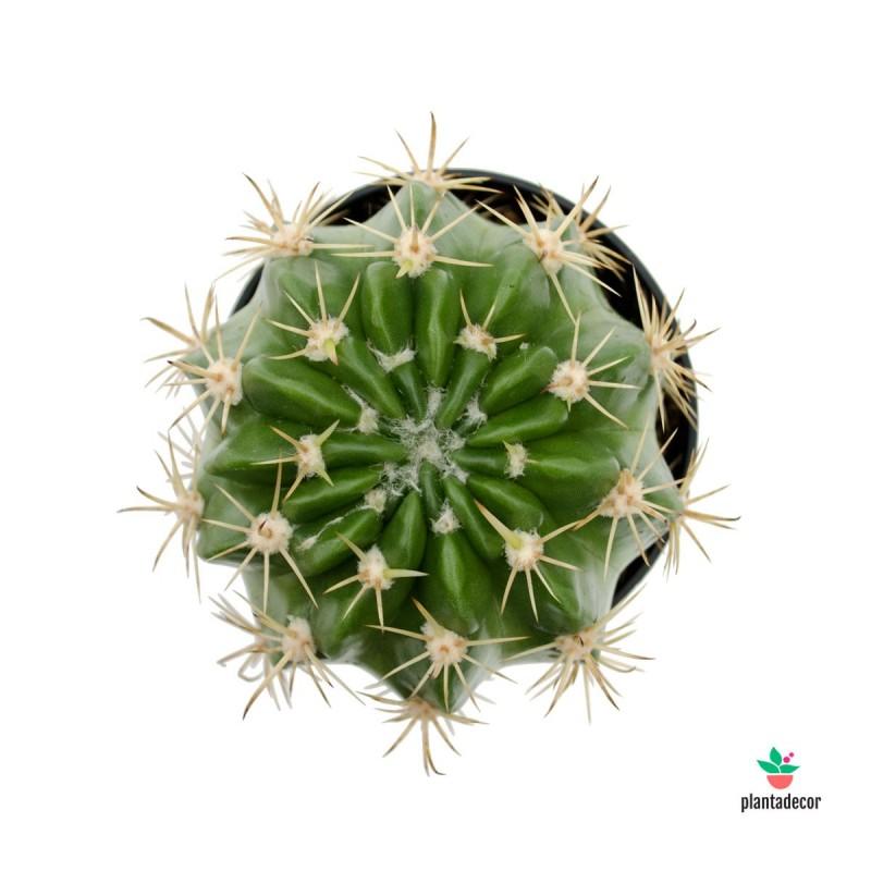 cactus pinchos estrella comprar