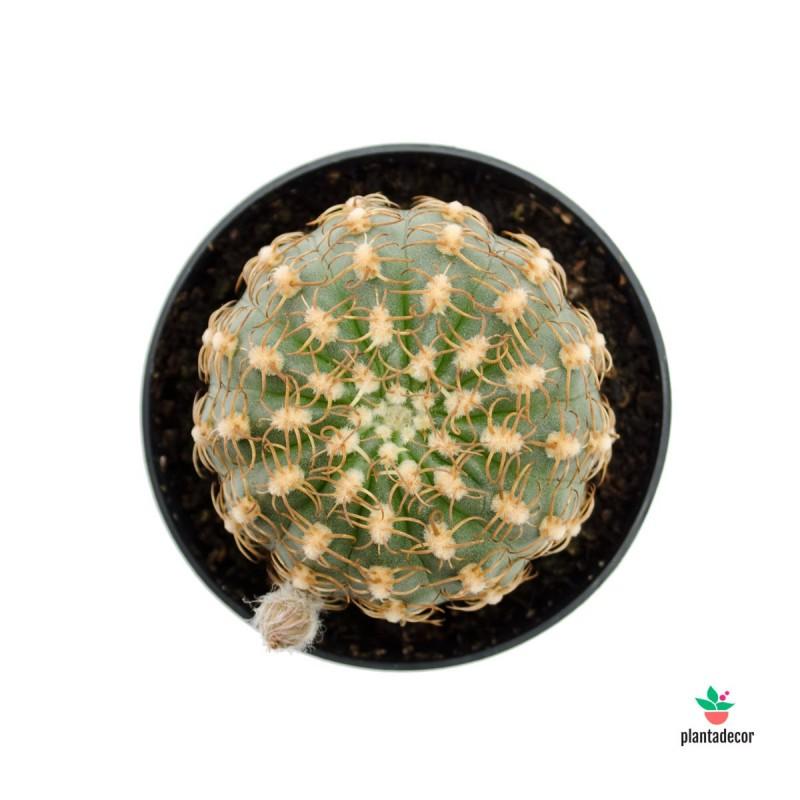 Lobivia Winteriana / Echinopsis backebergii
