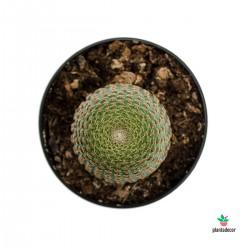 cactus Lobivia Famatimensis comprar