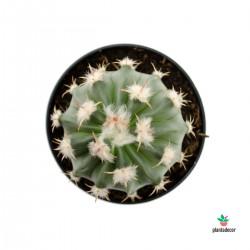 cactus tonel mancacaballo
