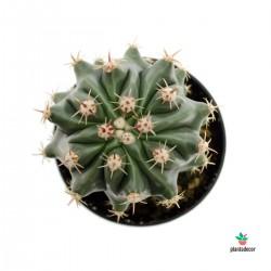 Ferocactus Horridus f....