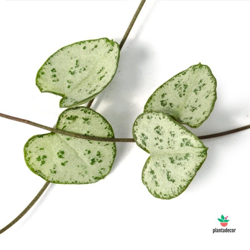 Ceropegia woodii ssp. woodii mini M-6