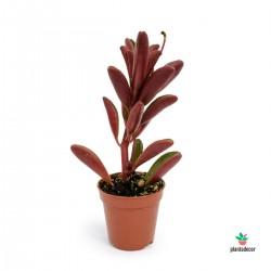 Peperomia Graveolens mini