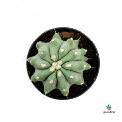 Ferocactus glaucescens f.  nudus/ inermis