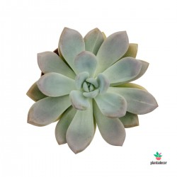 Graptoveria / Pachyveria...