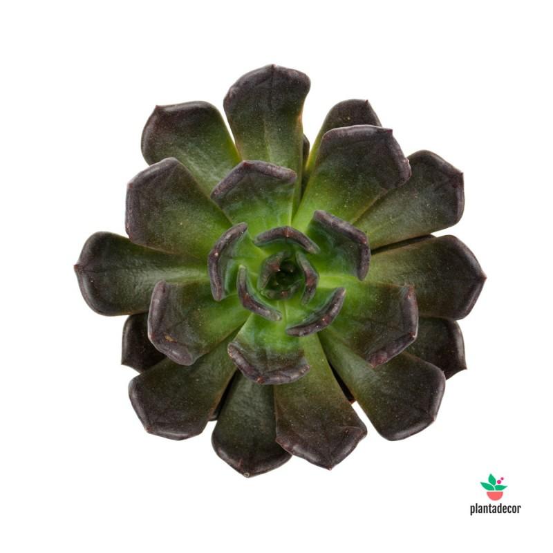 Echeveria Black Prince plantadecor
