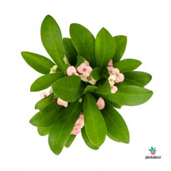 Euphorbia Milli rosa
