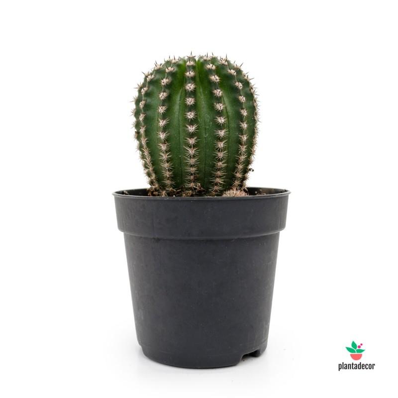 Echinopsis Híbrido