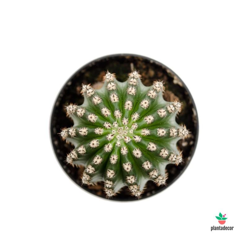 Echinopsis flores comprar
