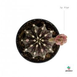 Gymnocalycium mihanovichii flor