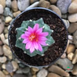 Turbinicactus Alonsoi flor
