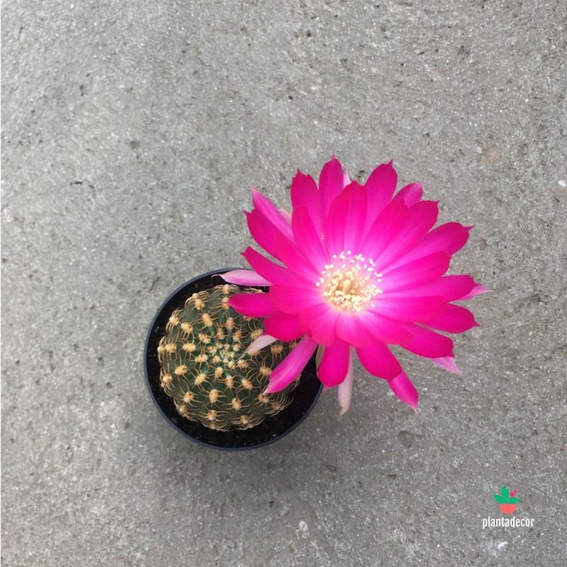 Lobivia Winteriana flor