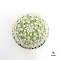 cactus ganchos