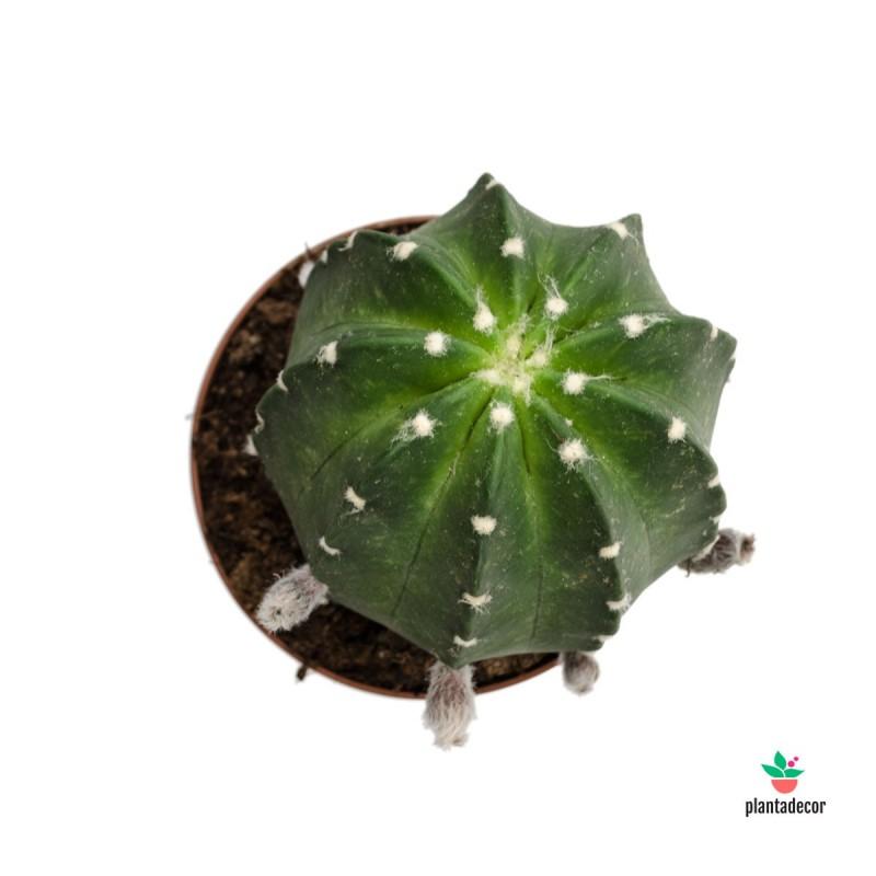 Echinopsis Subdenudata comprar online