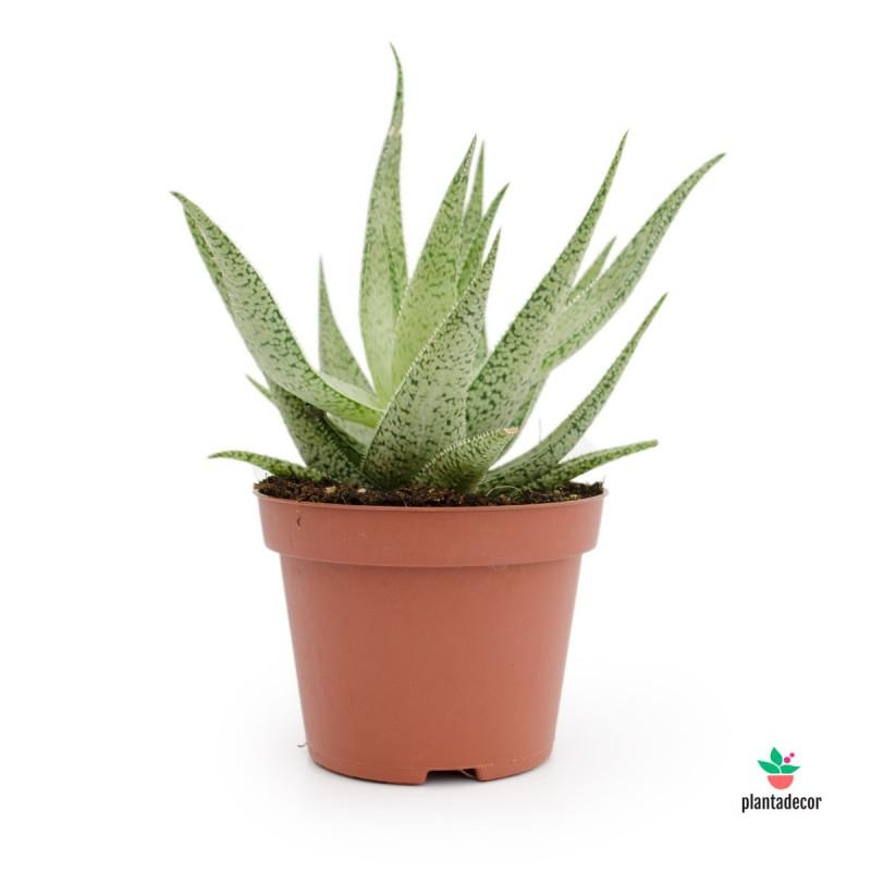 Aloe aristata Snow Flake